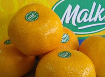 Luego de un breve retraso damos inicio a nuestra campaña de mandarina Satsuma.